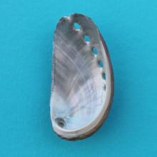 Donkey Ear Abalone Magnet