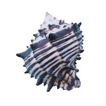 Black Murex Shell Magnet