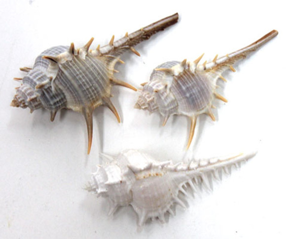 "Spiny Murex Seashell 2-3"""