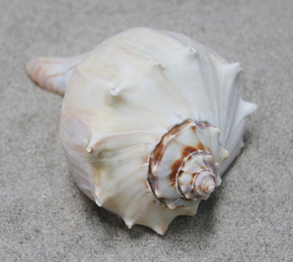 Atlantic Whelk Seashell