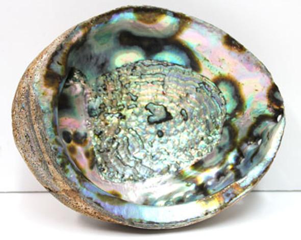 "7-8"" Blue/Green Abalone Shell"