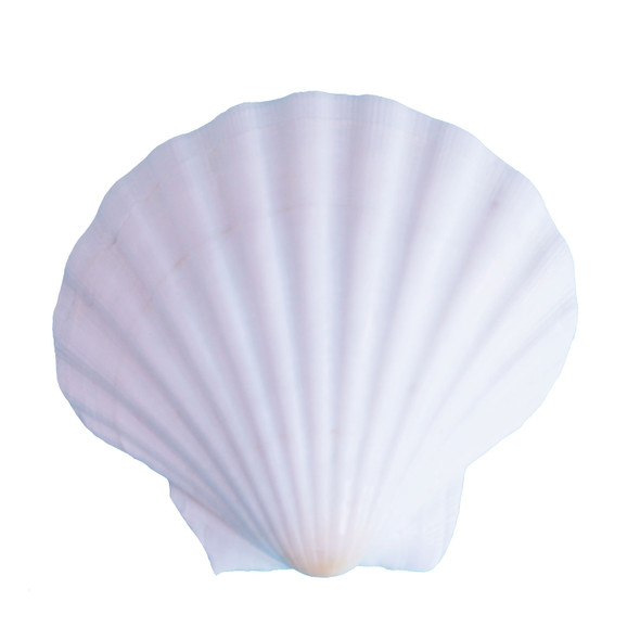 "White Irish Scallop Seashell 4""+"