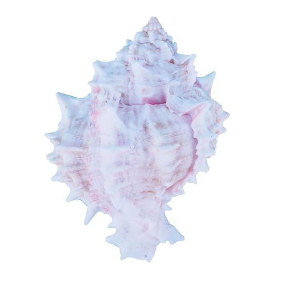 Pink Murex