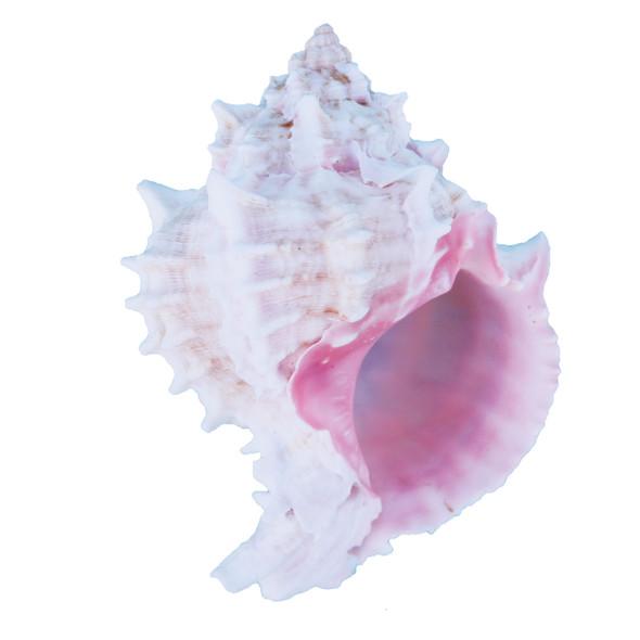 Pink Murex Seashells