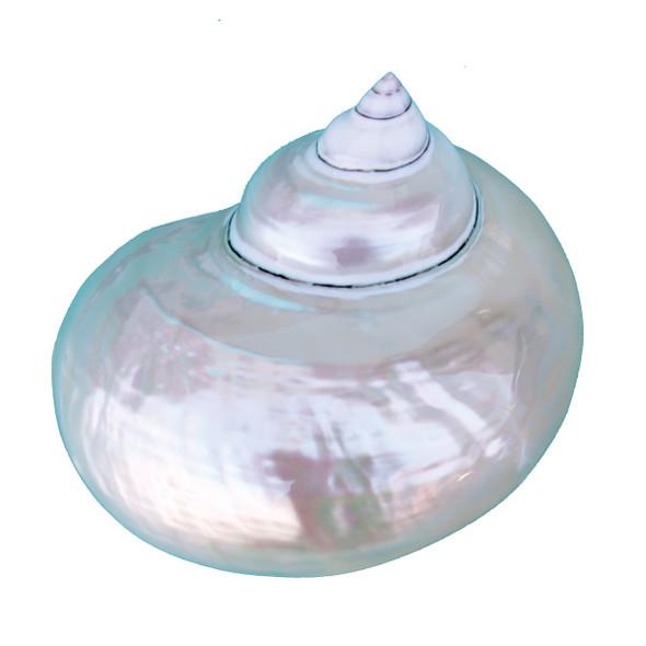 Pearl Turbo Seashells
