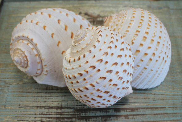 Spotted Tona Sea Shells