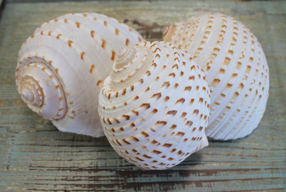 Spotted Tona Sea Shells