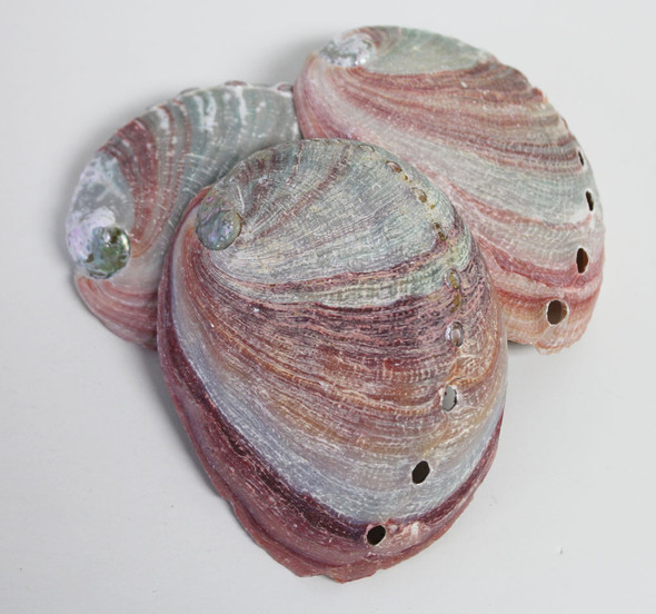 Red Abalone Seashells