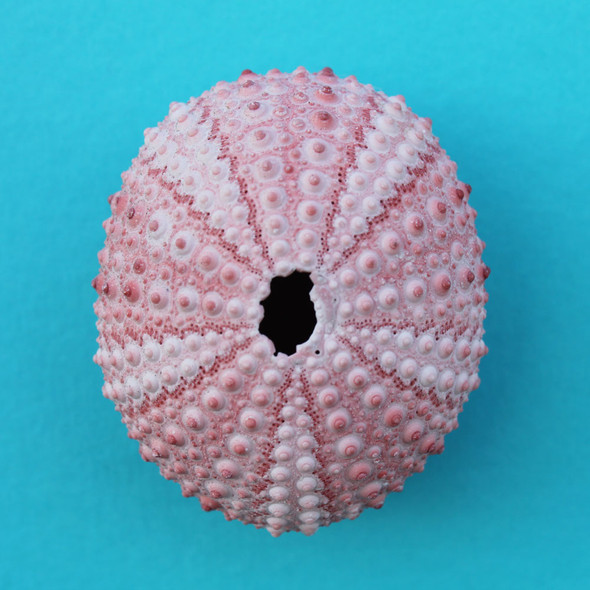 Pink Sea Urchin Magnet