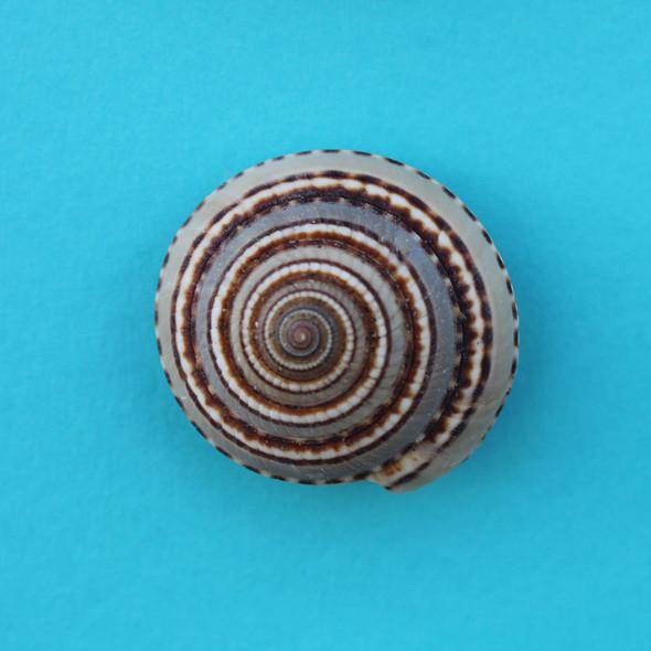 Sundial Shell Magnet