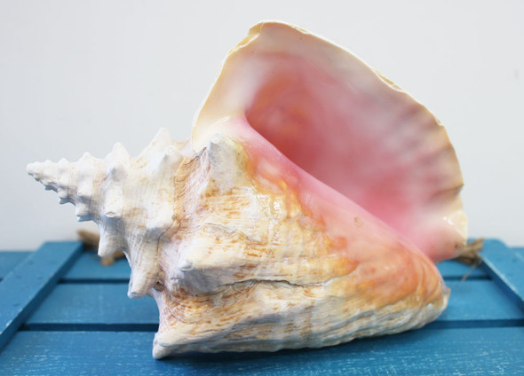 Pink Conch