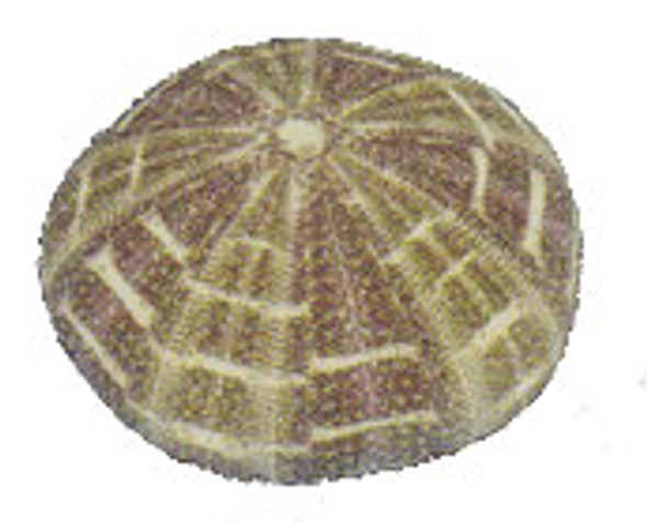 Alfonso or Calico Sea Urchin