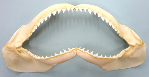 "8"" Shark Jaw"