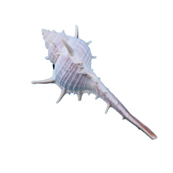 Spiny Murex Magnet