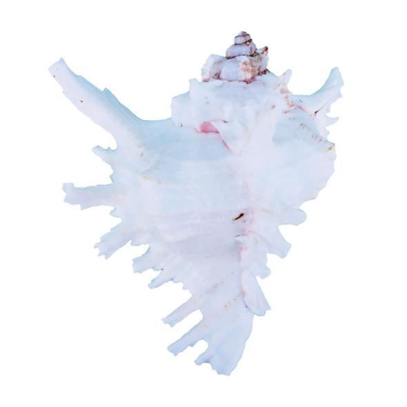 Ramosa Murex Shell