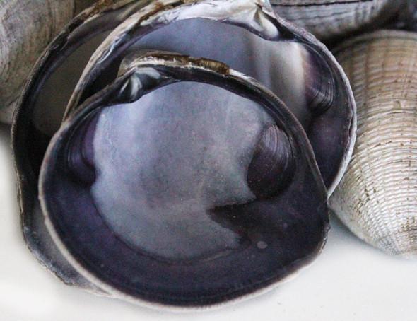 Purple Clam Natural Unpaired Seashells - 1 Pound