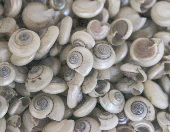 Pearl Umbonium Button Top Seashells - 1 Pound