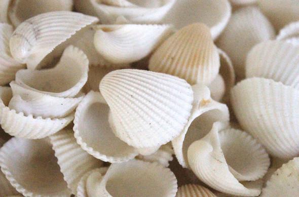 White Clam Rose Seashells - 1 Pound