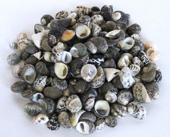 Neritina Seashells - 1 Pound