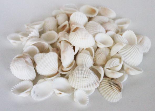 White Arca Seashells - 1 Pound