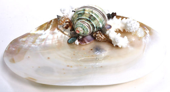 Green Banded Turbo - Oyster Soap Dish