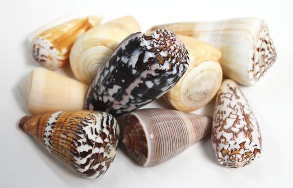 Small Mixed Cone Seashells - 1 Pound