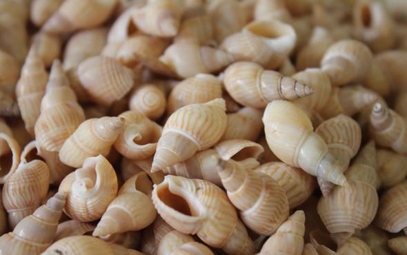 Bullia Vittata - Yellow Seashells - 1 Lb