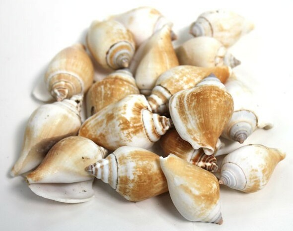 Strombus Canarium Seashells - 1 Pound