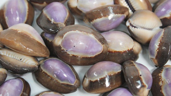 Snakehead Purple Top Cowrie Seashells - 50 Pieces