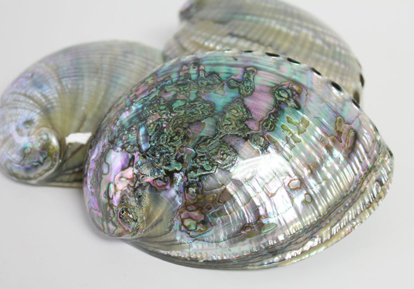 Polished Blue Green Abalone