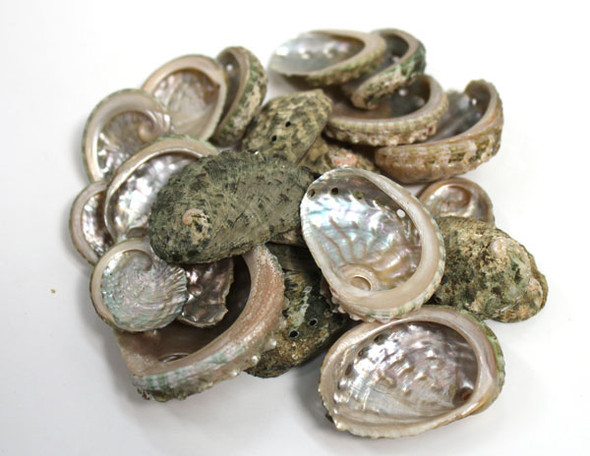 Thick Abalone - 1 kg