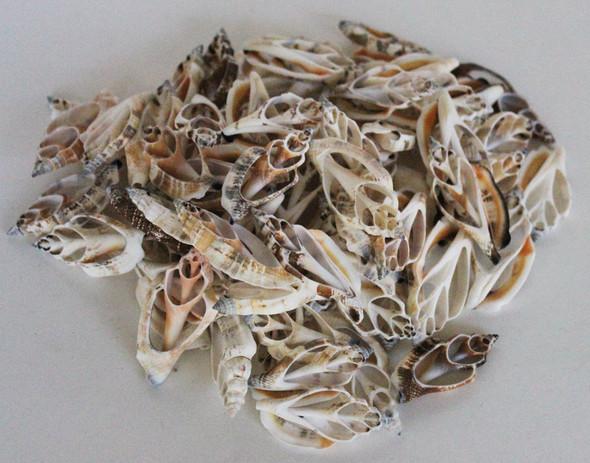 Sliced Strombus Shells