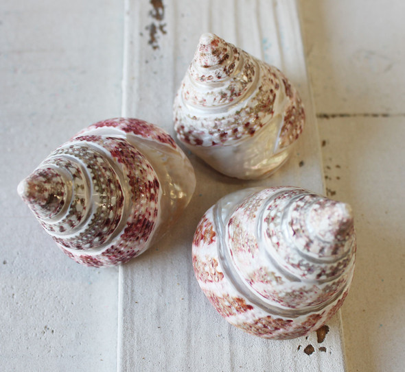 Strawberry Banded Trochus Seashells 2.5-3""