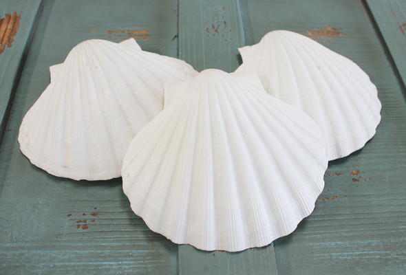 Giant Irish Scallop Shells