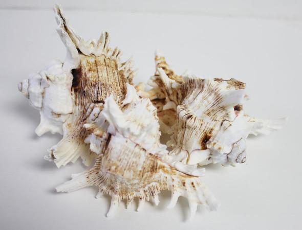 Cluster of Ramose Murex Seashells