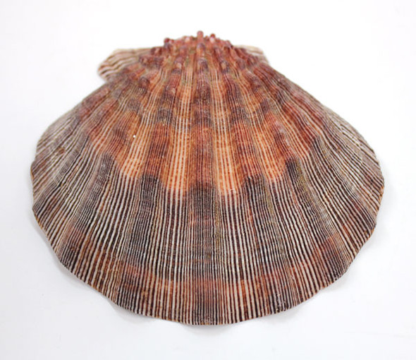 Lion's Paw Scallop Shell