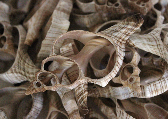 Sliced Fox Shells