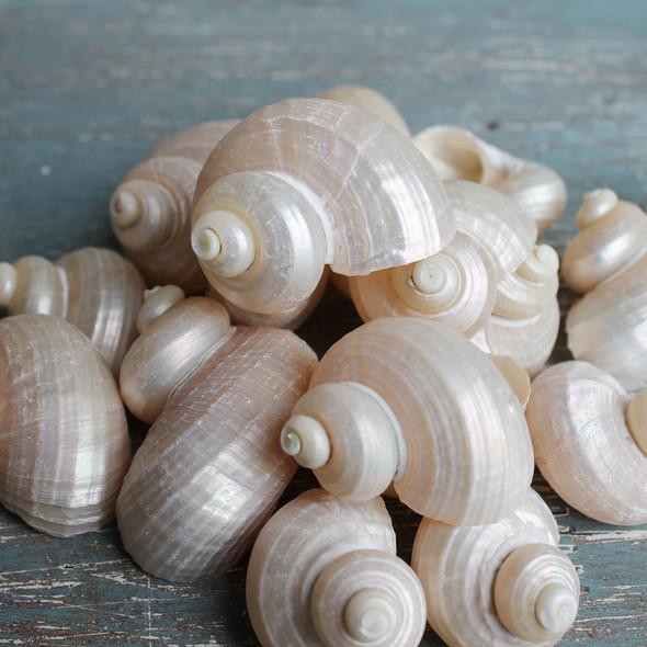Bulk Turban Shells