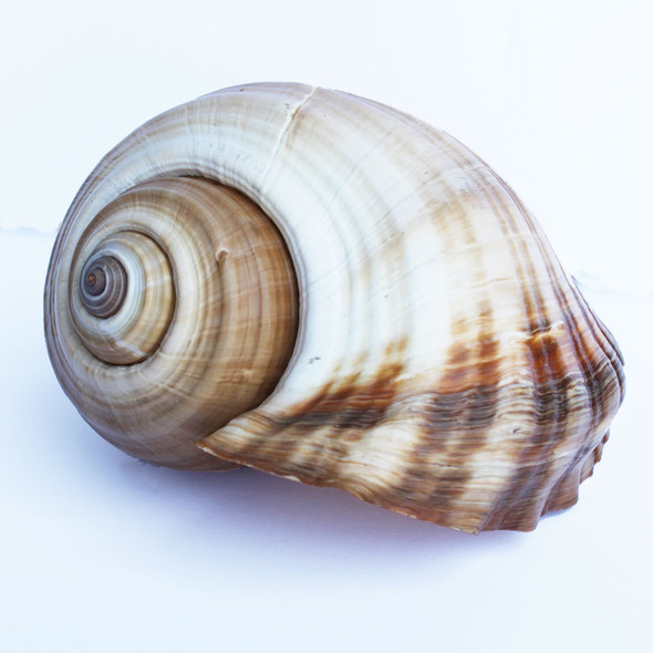 Brown Tun Shell