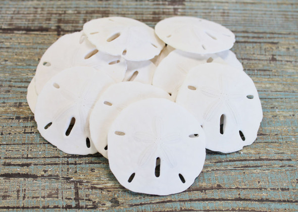 "Mini Keyhole Sand Dollar .75-1"" (100 Pieces)"