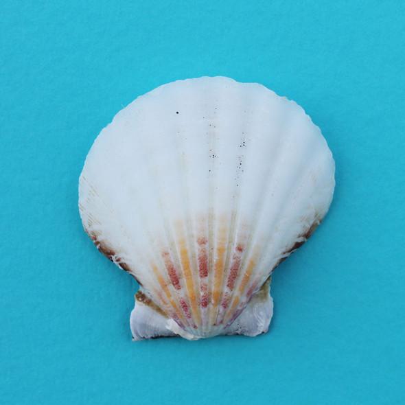 White Pectin Shell Magnet