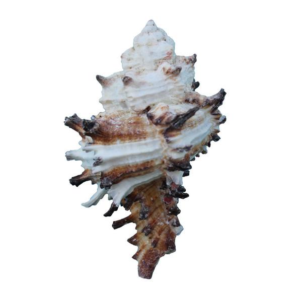 Murex Endiva Shell Magnet