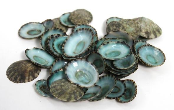 Green Limpet Seashells