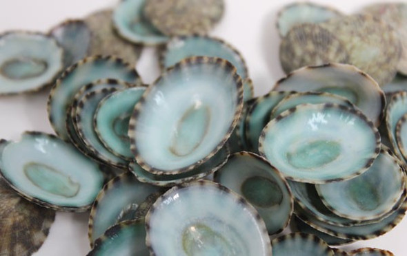 Green Limpets - Craft Shells