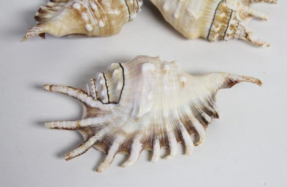 Lambis Lambis Seashell