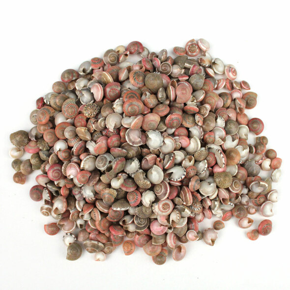 Natural Umbonium Shells