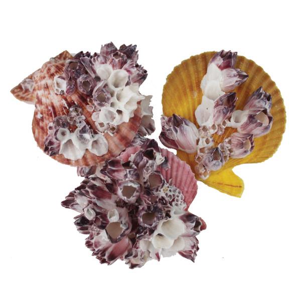 Barnacle Pectin Shells