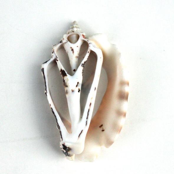 Silver Lip Conch Shell