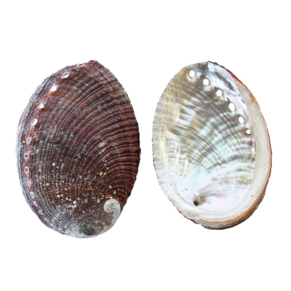 Small Blue Green Abalone