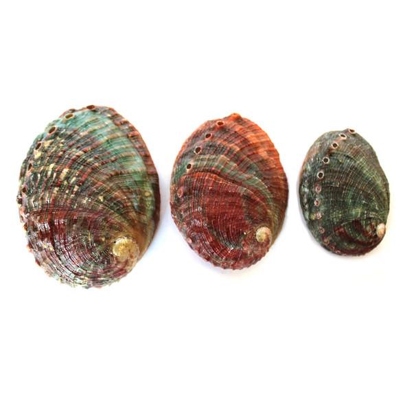 Threaded Abalone